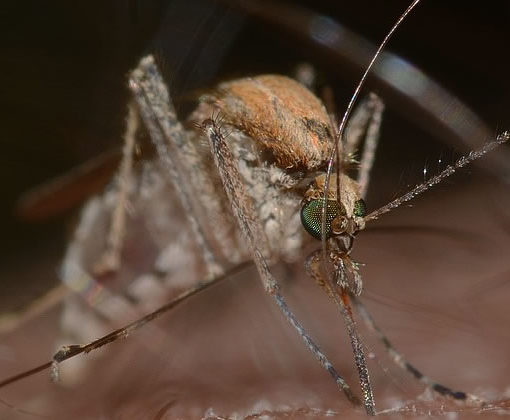 surveillance maladies moustique