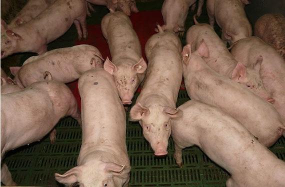 élevage intensif de porcs
